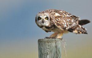 ---short-eared-owl-bird-552