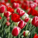 ---spring-tulips-screensavers-12117