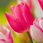 ---stunning-pink-tulips-12220