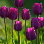 ---summer-purple-tulips-12259