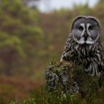 ---the-great-gray-owl-tree-stump-16934