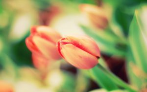 ---tulip-buds-pictures-12569