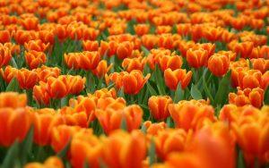 ---tulip-field-17007