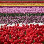 ---tulip-fields-12570