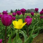 ---tulip-fields-12571