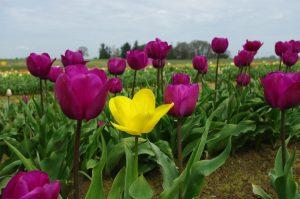 ---tulip-fields-12571