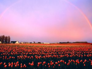 ---tulip-fields-12572