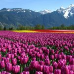 ---tulip-fields-12573