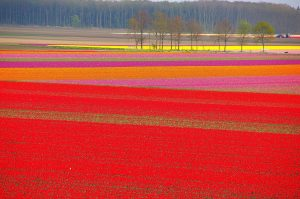---tulip-fields-12574