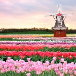 ---tulip-fields-17008