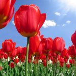 ---tulip-flower-backgrounds-17009