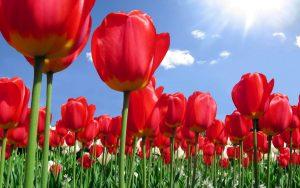 ---tulip-flower-backgrounds-17009