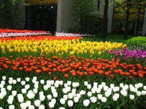 ---tulip-garden-wallpaper-12575