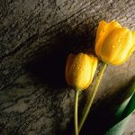 ---tulip-wet-drops-wallpaper-12576