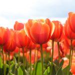 ---tulips-17018