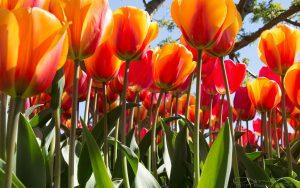 tulips-2880x1800-4k-5857