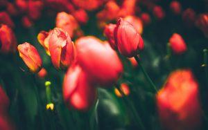 tulips-2880x1800-flora-bloom-hd-4k-8k-2632