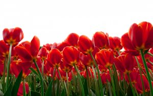tulips-2880x1800-red-flowers-hd-4k-5534