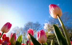 tulips-2880x1800-sunny-day-summer-4k-5959