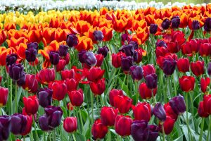 tulips-3000x2000-colorful-hd-5636