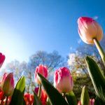 tulips-3648x2736-sunny-day-summer-4k-5959