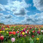 ---tulips-field-12577