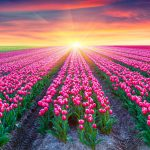 tulips-field-2880x1800-pink-tulips-netherlands-sunrise-beautiful-5k-1769