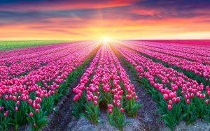 tulips-field-2880x1800-pink-tulips-netherlands-sunrise-beautiful-5k-1769