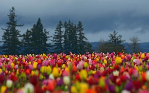 ---tulips-field-hd-17012