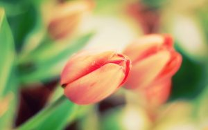 ---tulips-floral-17013