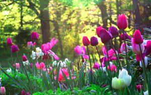 ---tulips-flower-garden--12578