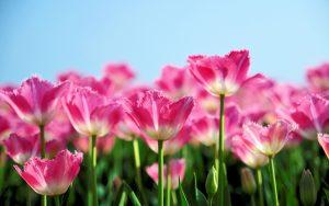 ---tulips-flower-garden-12579