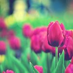 ---tulips-flowers-bokeh-12580