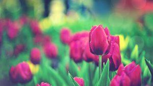 ---tulips-flowers-bokeh-12580