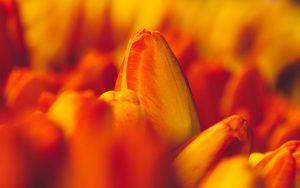 ---tulips-orange-macro-flowers-buds-17014