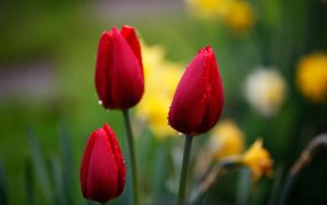 ---tulips-red-drops-focus-nature-flowers-macro-12582