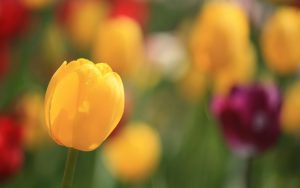 ---tulips-spring-flowers-focus-bokeh-close-up-12583