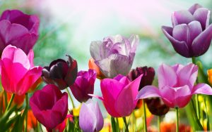 ---tulips-wallpapers-17015