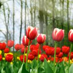 ---tulips-wallpapers-5939