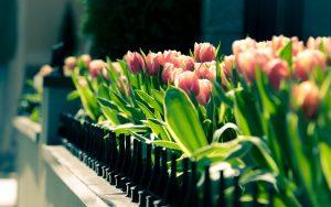 ---tulips-wallpapers-5940
