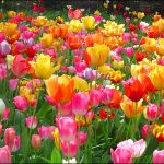 ---tulips-wallpapers-5941