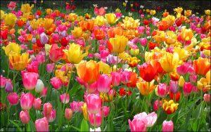 ---tulips-wallpapers-5941