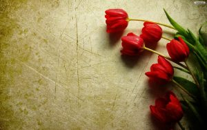 ---tulips-wallpapers-5942