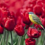 ---tulips-wallpapers-5943