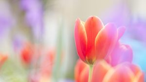 ---tulips-wallpapers-5945