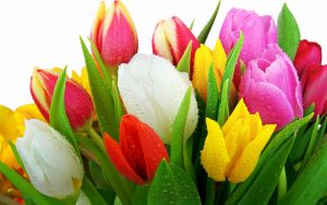---tulips-wallpapers-5946