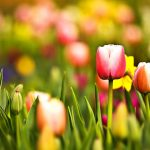 ---tulips-wallpapers-5950