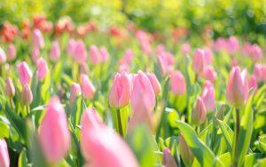 ---tulips-wallpapers-5951