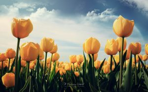 ---tulips-wallpapers-5953