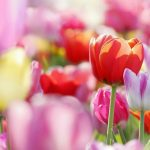 ---tulips-wallpapers-5954